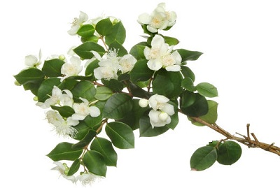گیاه مورد با نام علمی Myrtus communis .L   مجله داروکده